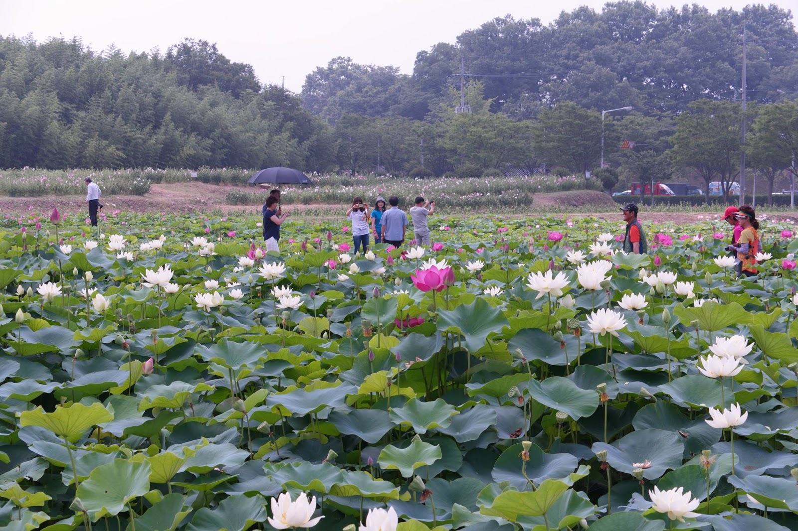 A Lotus Flower Is In Bloom On A Pond