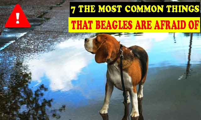 7 The most common things that beagles are afraid of