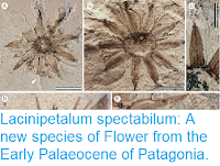https://sciencythoughts.blogspot.com/2018/04/lacinipetalum-spectabilum-new-species.html