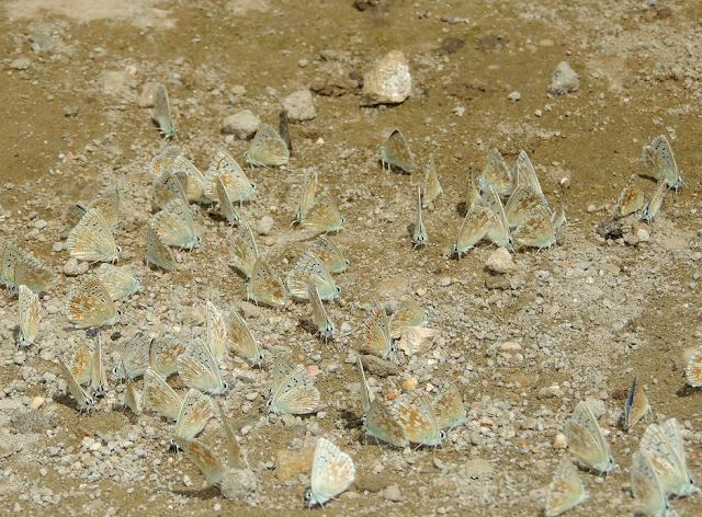 un bebedero de Polyommatus coridon