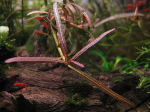 Hồ liễu đỏ có màu sắc nổi bật trong hồ thủy sinh