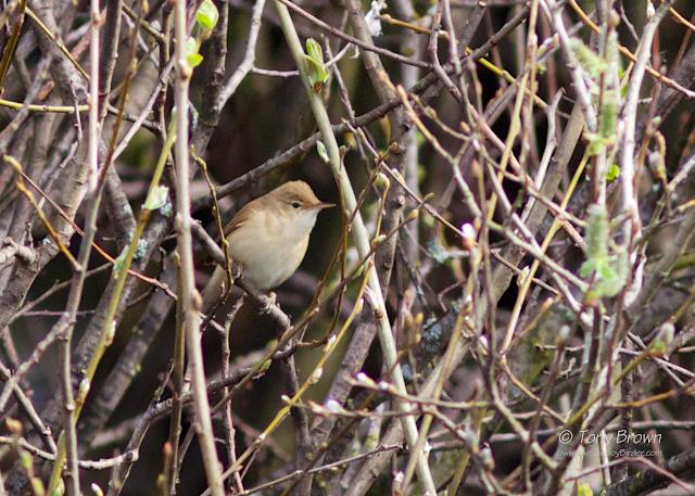Acro, Warbler, spring, Wanstead