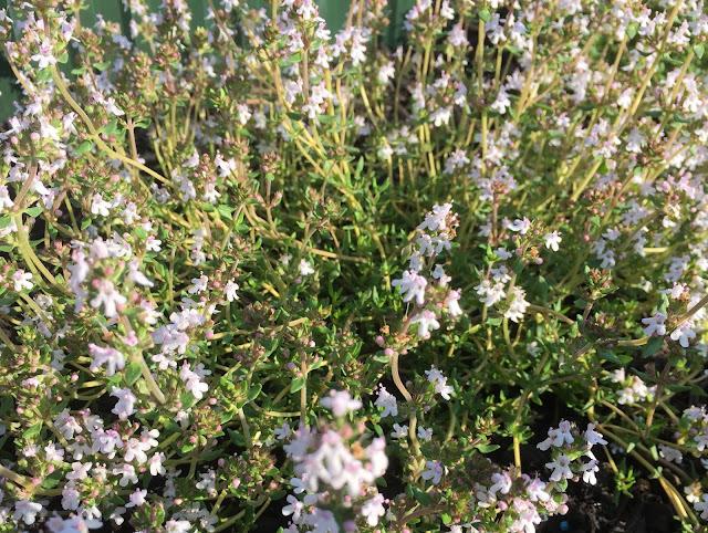 Zitronenthymian - gedeiht üppig und bildet herrliche Blüten