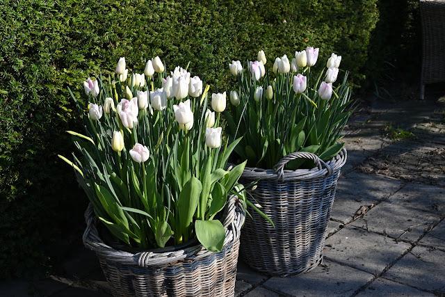 tulipa Infinity