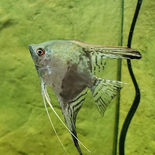 Ghost Angelfish