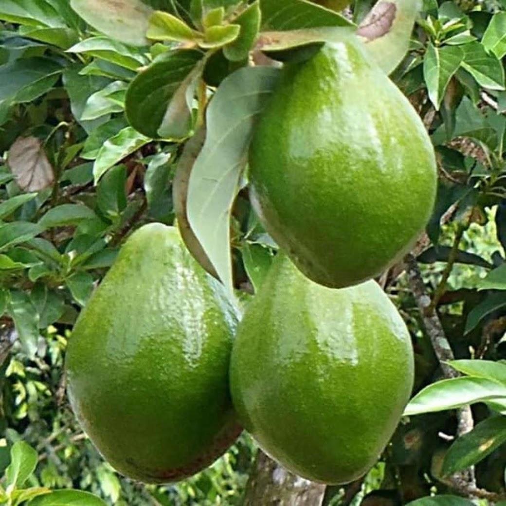 bibit tanaman buah alpukat miki depok Sumatra Utara