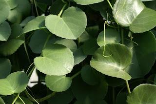 Cissus à feuilles rondes - Cissus rotundifolia