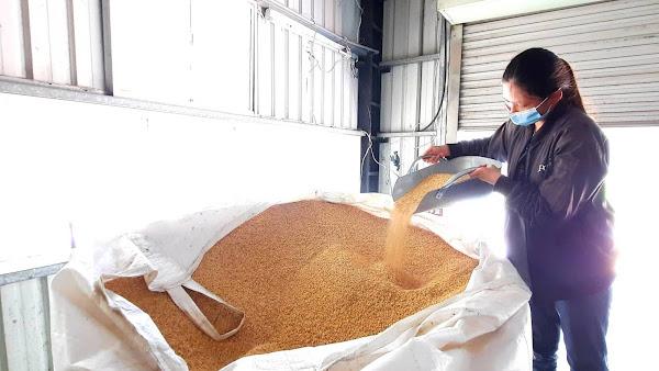 曬穀後要經過日本進口的美白米機及色選機篩選,才能進行真空包裝