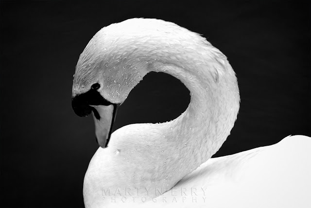 Image of a graceful swan in black and white by Martyn Ferry Photography