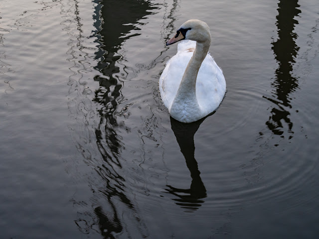 Photo of the cygnet waiting for food near Ravensdale