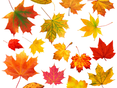 Many Canadian leaves with transparent background.