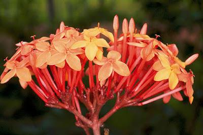 ต้นเข็มทอง (เข็มแสด) เข็มป่าไทย สรรพคุณ