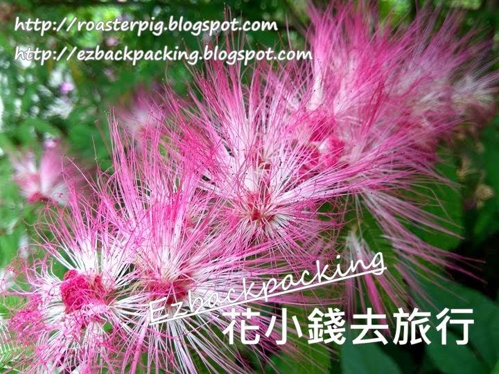 香港細葉粉撲花