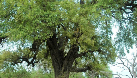Pohon Hampir Punah