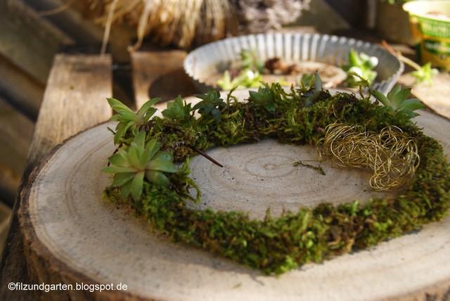 Kindel von Semperviven werden auf einen Moosring gewickelt