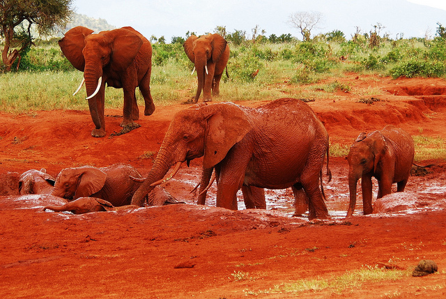 The Red Elephants of Kenya | The Ark In Space