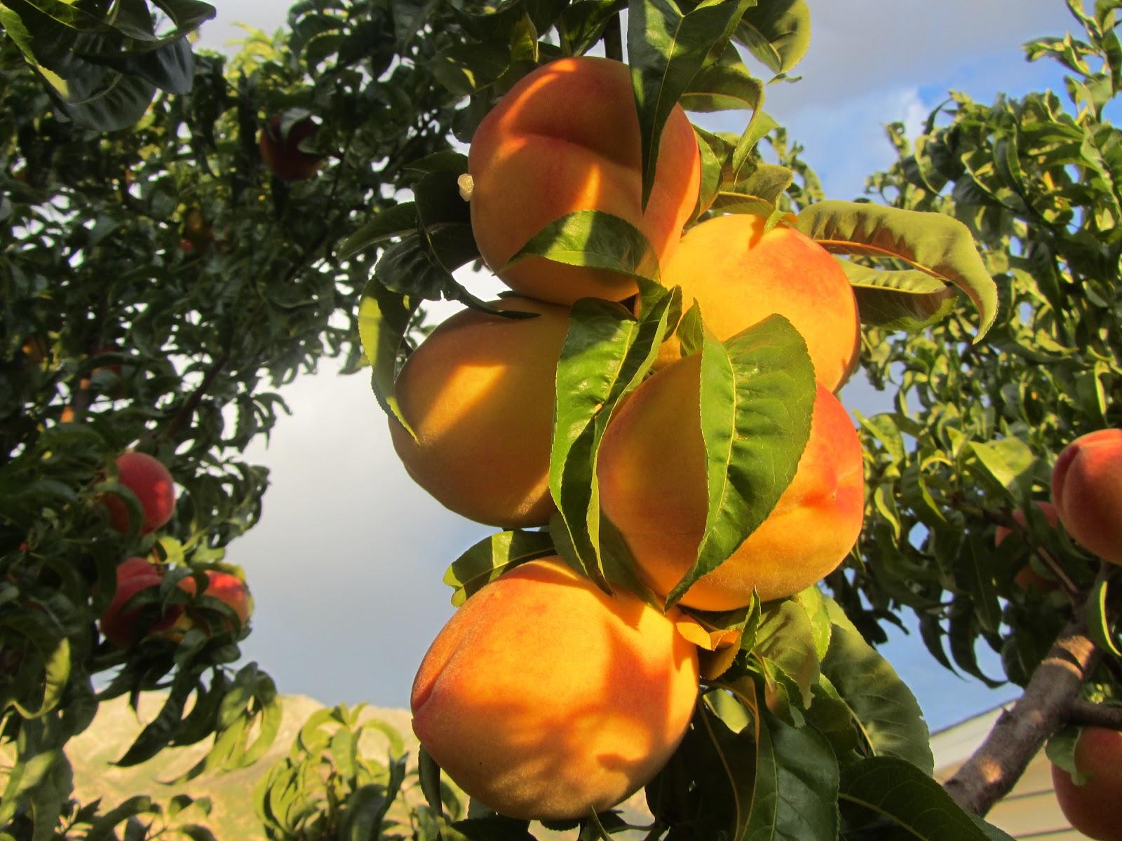 Beautiful Fruit Trees Wallpaper Diy Craft