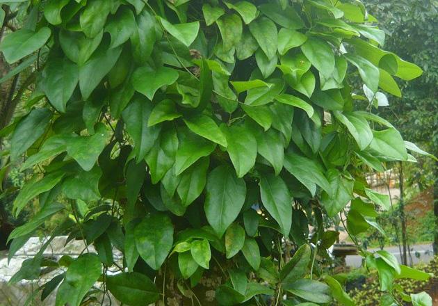 daun cincau hitam