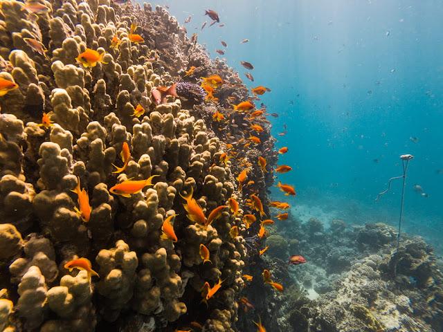Banco de peces lira en el Japanese Garden, Aqaba, mar Rojo, Jordania
