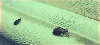 حشرة البق وكيفية التخلص منها