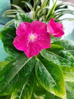 Gambar bunga vinca tapak dara cantik dan indah
