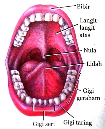 Jenis dan Fungsi Organ Pencernaan Utama dan Tambahan Pada ...