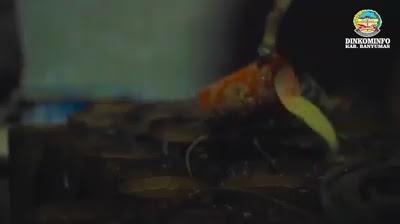 proses melaru pongkor gula kelapa
