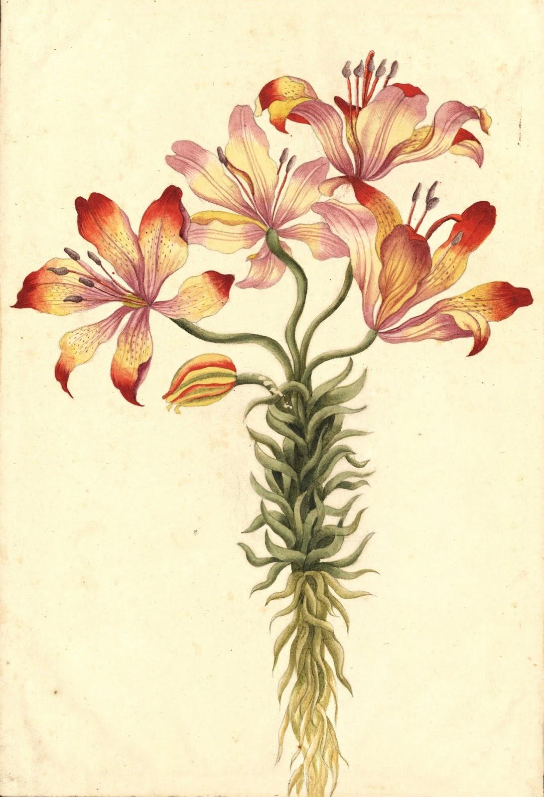 Ilustracion botánica de lirio