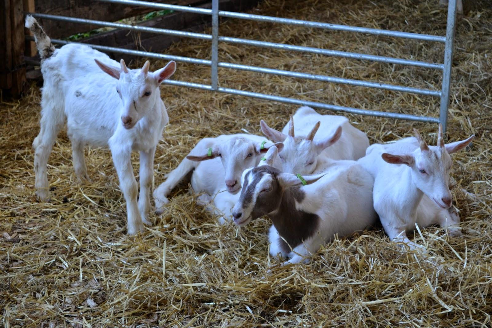 Goats at Longdown Activity Farm
