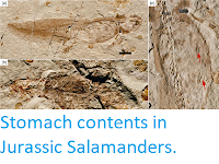 http://sciencythoughts.blogspot.co.uk/2013/06/stomach-contents-in-jurassic-salamanders.html