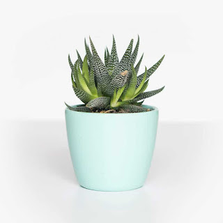 succulent,succulent plant,succulents,succulent plants,plants,plant,succulent garden,how to grow succulents,succulent factory,my succulent plant,succulent container,indoor plants,care of succulent plants,buy succulents online,succulent plants for the home,indoor succulents,succulents for beginners,care for succulent plants indoors,how to plant a succulent garden,where to buy succulents,propagate succulents from leaves