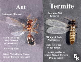 ant versus termite
