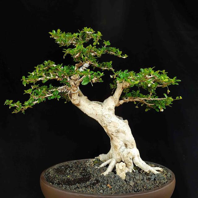 Ciri Ciri Pohon Hokianti