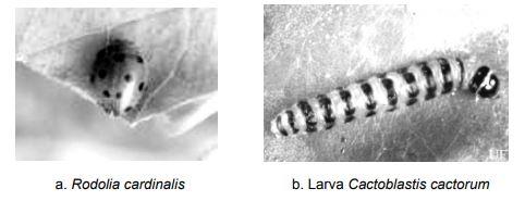 Rodolia cardinalis dan Cactoblastis cactorum
