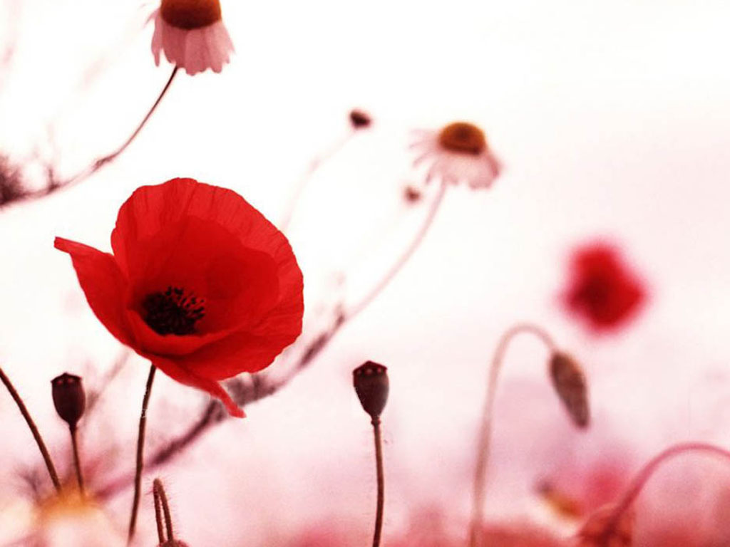 Wallpapers poppy flowers desktop wallpapers - Red flower desktop wallpaper ...