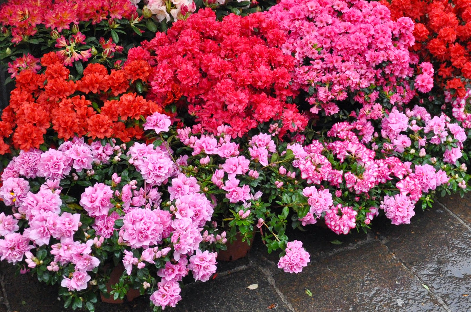 Pink and red potted plants, 7th Edition of 'Fiori, colori, e...' - Floriculture market show, Vicenza, Italy