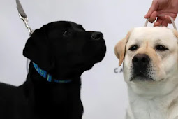 Anjing Terapi Bantu Atasi Kecemasan Anak di Sekolah dan Ruang Pengadilan Australia