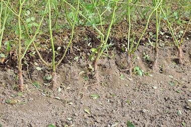 芽接ぎをする地植えのノイバラ台木