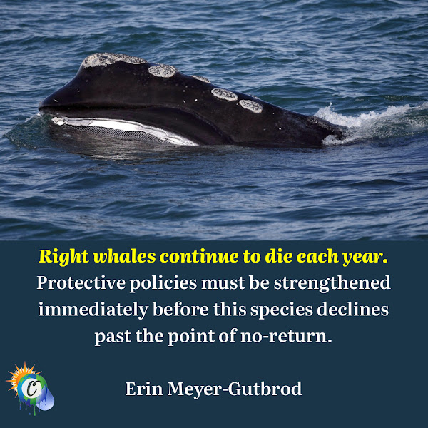 Right whales continue to die each year. Protective policies must be strengthened immediately before this species declines past the point of no-return. — Erin Meyer-Gutbrod, assistant professor at the University of South Carolina