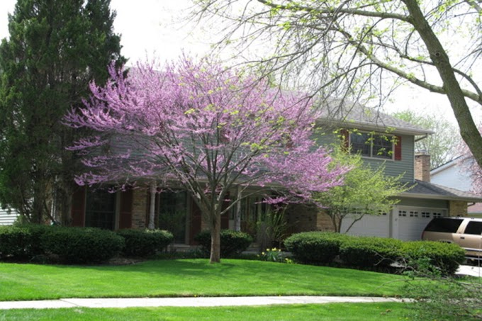 Pros and cons of redbud trees