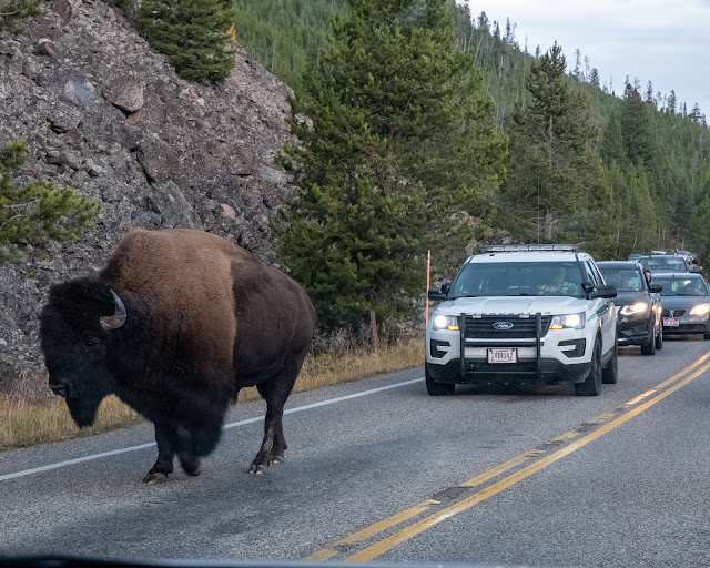 Adventurous Tastes| Bison blocks traffic at Yellowstone