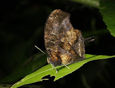 Mariposa murciélago (Consul fabius)