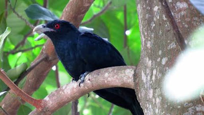 Koyal bird photo
