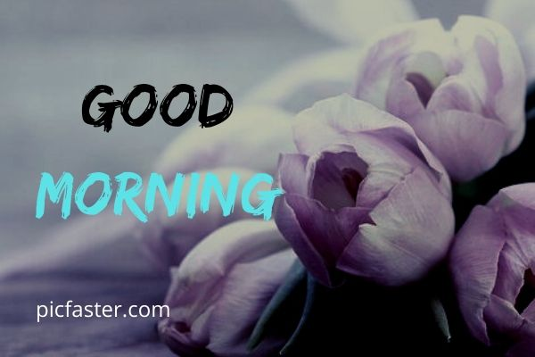 Latest Good Morning Rose Images Free Download