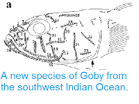 http://sciencythoughts.blogspot.co.uk/2013/06/a-new-species-of-goby-from-southwest.html