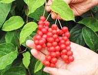 Buah Omija - 오미자 열매 - Omija Yeolmae