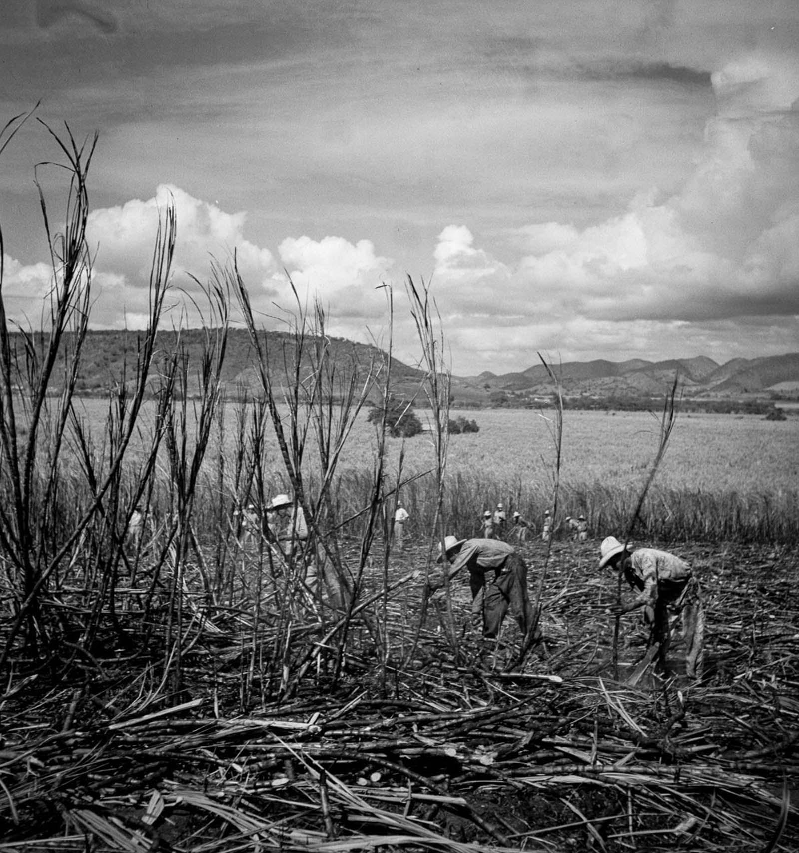 Laborers harvest sugarcane near Guanica.