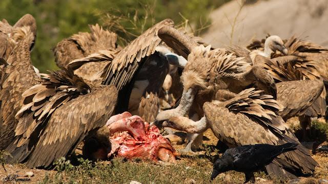 Tras una breve inspección del lugar, una multitud de buitres se precipita sobre el cuerpo sin vida para engullir tanta carne como les sea posible. En la foto tres buitres leonados limpian de cualquier tejido blando que quede a su alcance el cráneo de un ternero. Aínsa (Huesca).