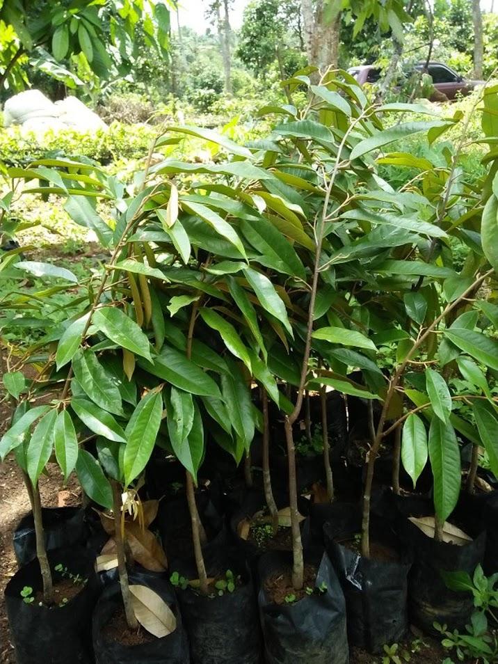 COD bibit durian musangking hasil okulasi Riau