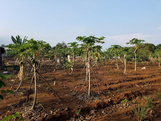 Vườn đu đủ chin cây